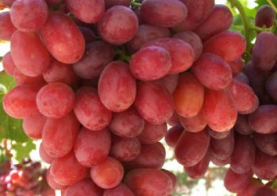 Sadat Agro - Crimson Grapes 6