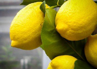 Sadat Agro - Lemon - Eureka 3